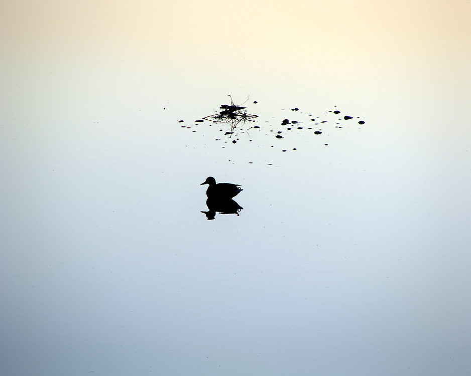 This picture shows the silhouette of a lone duck taking a last light swim on the water.<br />