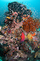 Healthy Coral Bommie with Coral Grouper and Schooling Damsels and Anthias..Shot in West Papua Province, Indonesia