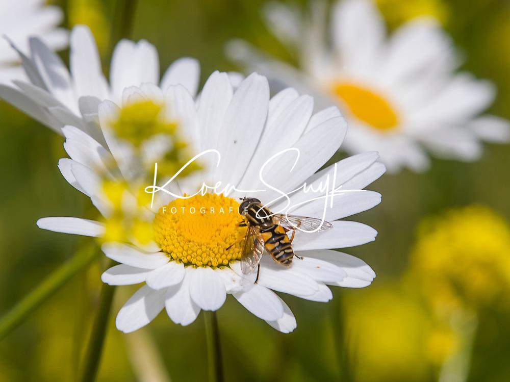 HALFWEG -  Pendelzweefvlieg(Helophilus pendulus). Wilde bloemen op de baan van de   Amsterdamse Golf Club   COPYRIGHT KOEN SUYK