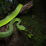 Pope's Pit Viper (Trimeresurus popeiorum) female in Nan, Thailand