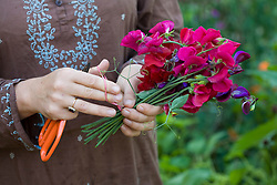 Using rubber band to tie picked sweet peas