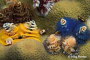 Christmas tree serpulid worms,  Spirobranchus giganteus, Narage Island, Vitu Islands, Bismarck Archipelago, Papua New Guinea ( Bismarck Sea / Western Pacific Ocean )