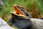 bearded dragon (Pogona barbata) threat display