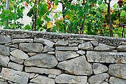 Stone wall and grapevines, island of Vrnik, Croatia