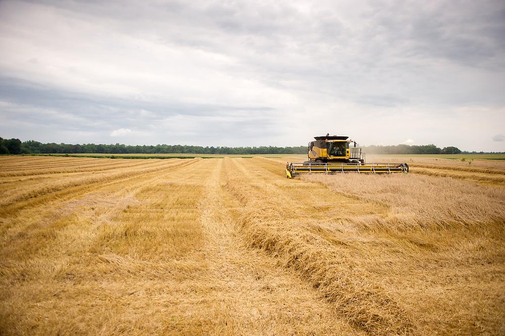 Wheat harvest<br /> Centerville MD