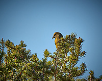 Female or immature Red Crossbill in a pine tree. Rocky Mountain National Park. Image taken with a Nikon D2xs camera and 70-200 mm f/2.8 lens and TC-E 1.4 teleconverter (ISO 180, 280 mm, f/11, 1/250 sec).