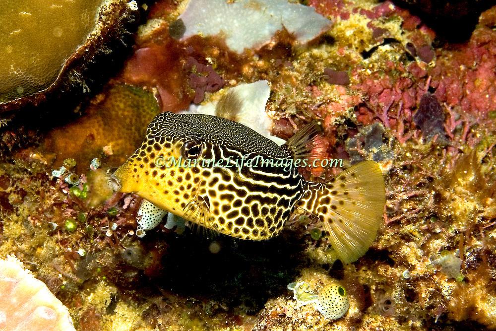 Solor Boxfish inhabit seaward reefs. Picture taken Solomon Islands.
