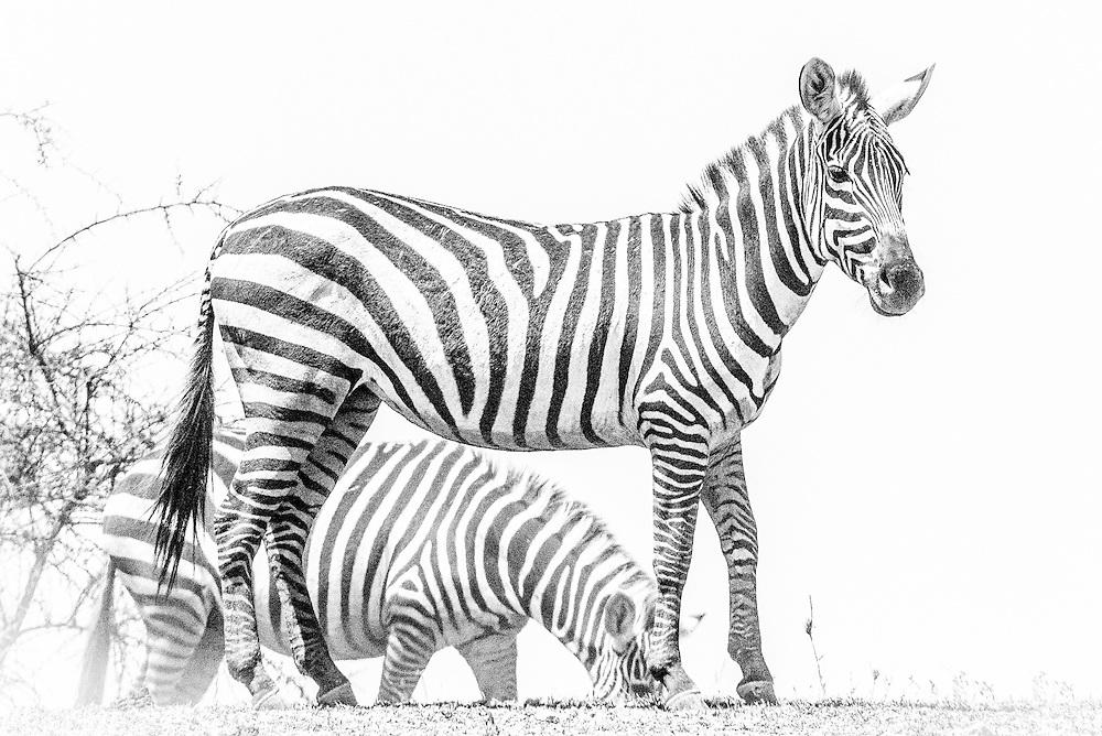 Plains Zebras, Tanzania