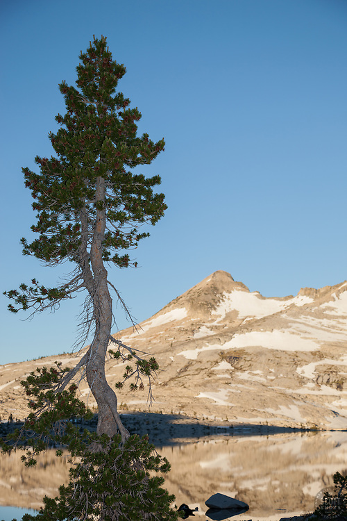 """""""Tree at Lake Aloha 1"""" - This tree was photographed in the early morning at Lake Aloha in the Tahoe Desolation Wilderness."""