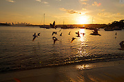 A beautiful Summer Evening at Watson's Bay, Sydney sees birds skim the waterline in flight