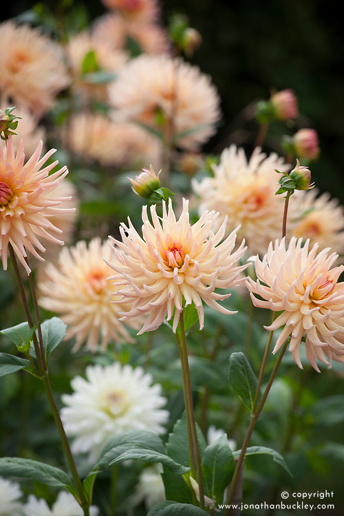 Dahlia 'Henriette' and 'Snowstorm'