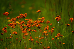 Orange hawkweed in Northern Wisconsin in the Chequamegon National Forest.