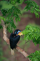Female Knobbed Hornbill (Aceros cassidix) preening in a tree..Tangkoko Batuangus/Dua Saudara Nature Reserve, Sulawesi Island, Indonesia.