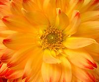 WA13242-00...WASHINGTON - A dahlia in bloom.