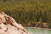 CANADA, Jasper National Park.Bighorn sheep (Ovis canadensis) and Jasper landscape