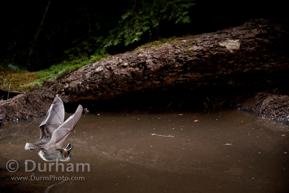 A wild bat comes down to a small pond in the Ochoco National Forest, Oregon © Michael Durham / www.DurmPhoto.com