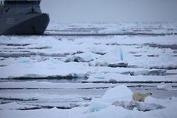 LABRADOR SEA 5JUN11 – A polar bear feasts on a seal in close proximity of the HDMS Ejnar Mikkelsen (P 571), a Royal Danish Navy patrol vessel in the ice of the Labador Sea off the Canadian coast. After a call from the captain of the Greenpeace ship Arctic Sunrise to 'mind the polar bear', the Danish navy ship changed course thus avoiding a disturbing encounter with the bear...Photo by Jiri Rezac / Greenpeace