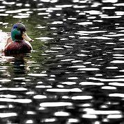 Duck in the Loose Park Pond in June 2011.