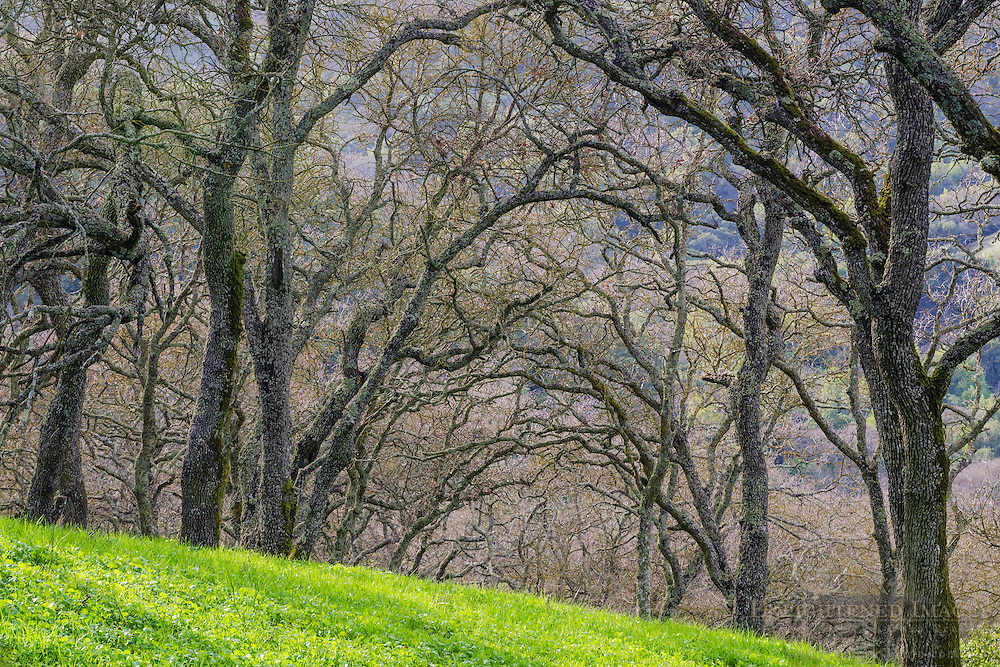 Oak trees in eary Spring, Briones Regional Park, Contra Costa County, California