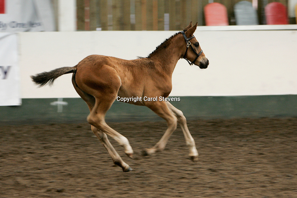 BEF Futurity July 2012  Richmond EC<br /> Pippa (Waver Springs Show Time) 6 weeks and 3 days old<br /> 2nd Highest Score of Foal Dressage Category