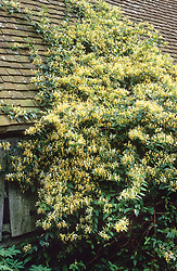 Lonicera similis var. delavayi growing on the Hovel at Great Dixter. Honeysuckle