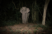 The Asian elephant, or Asiatic elephant (Elephas maximus), is the only living species of the genus Elephas and is distributed in Southeast Asia. Lone males, as seen here, are extremely dangerous, especially in musth, and many people have been killed by them.