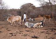 DROUGHT IN ETHIOPIA<br /> <br /> The Borana tribe, part of Oromo people who make up around a third of the Ethiopian population, is suffering from drought for months. Cows are dying, meanwhile many people are complaining the lack of support from the government, thus generating massive uprisings, repressions and killing hundreds of protesters.<br />  Borana live in Kenya, Ethiopia and Somalia with a population of 500,000. They are semi pastoralists. Their life depends on their livestock, which are their only wealth. Their cattle are used in sacrifices and also as dowry or to pay legal fines. For one year, there has been no rain and more than 15,000 cows have died in Ethiopia.<br /> <br /> Photo shows:Some cows are too weak to get up in the morning, so the herder must inspect all the cattle one by one to be sure they are in good shape.<br /> ©Eric lafforgue/Exclusivepix Media