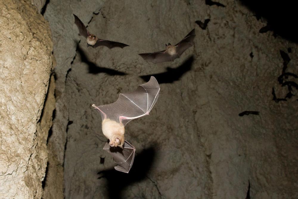 Mehely Horseshoe bat ( Rhinolophus mehelyi) in a cave, Mehely-Hufeisennase,  near Nikopol, Bulgaria