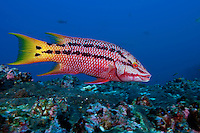 Initial Phase of Mexican Hogfish