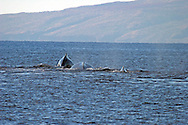 Pacific Humpback Whale off the coast of Maui Hawaii in the Central Pacific Ocean off the coast of Lanai