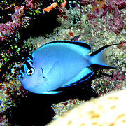 Pinstriped Angelfish inhabit reefs. Picture taken Solomon Islands.