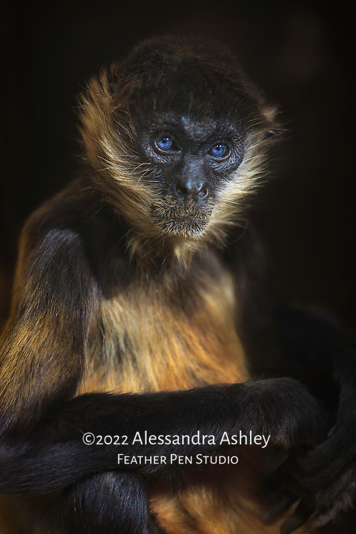 Strikingly blue-eyed spider monkey photographed in naturalistic habitat, with highlight from direct sun.