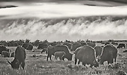 A herd of Bison graze as a fog clears out at the Medano Ranch, Colorado