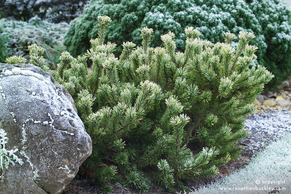 Pinus mugo 'Laarheide' in winter - Dwarf mountain pine