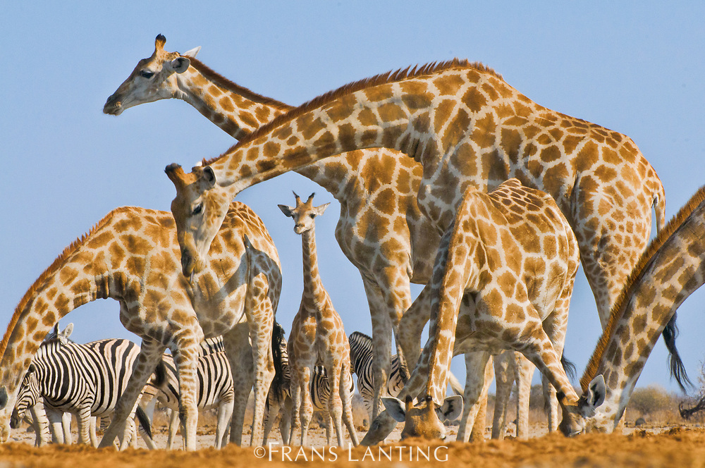 Giraffes at waterhole,  Etosha National Park, Namibia