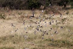 NAMIBIA ETOSHA 30APR14 - A flock of birds flies in formation at a waterhole near Namutoni, Etosha National Park, Namibia.<br /> <br /> <br /> <br /> jre/Photo by Jiri Rezac<br /> <br /> <br /> <br /> © Jiri Rezac 2014