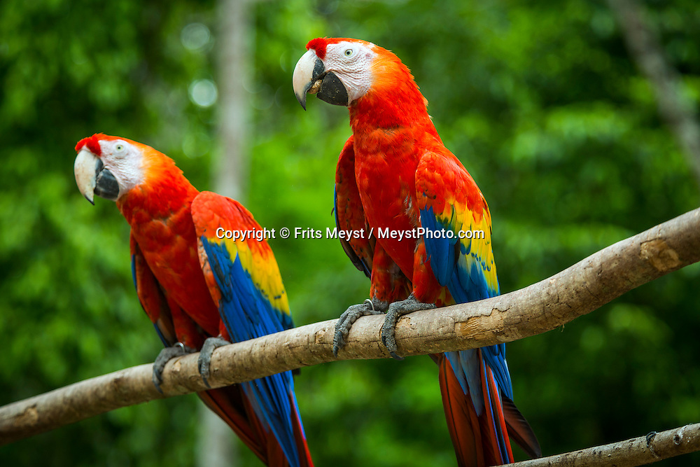 Capon, Honduras, May 2014. a pair of scarlet macaws (Ara macao). The scarlet macaw is an endangered species and the national bird of Honduras.From the Bay islands on the Caribbean coast, via the lush jungles of the interior to the ancient Mayan culture of Copan, Honduras is one big adventure.  Photo by Frits Meyst / MeystPhoto.com