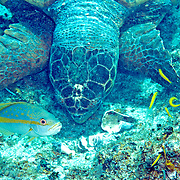 Hawksbill Sea Turtle feeding on Queen Conch a crustations; picture taken Little Cayman.