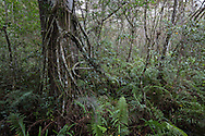 Corkscrew Swamp Sanctuary, near the Collier-Hogan well, is home to the last remaining old growth cypress trees in the world.