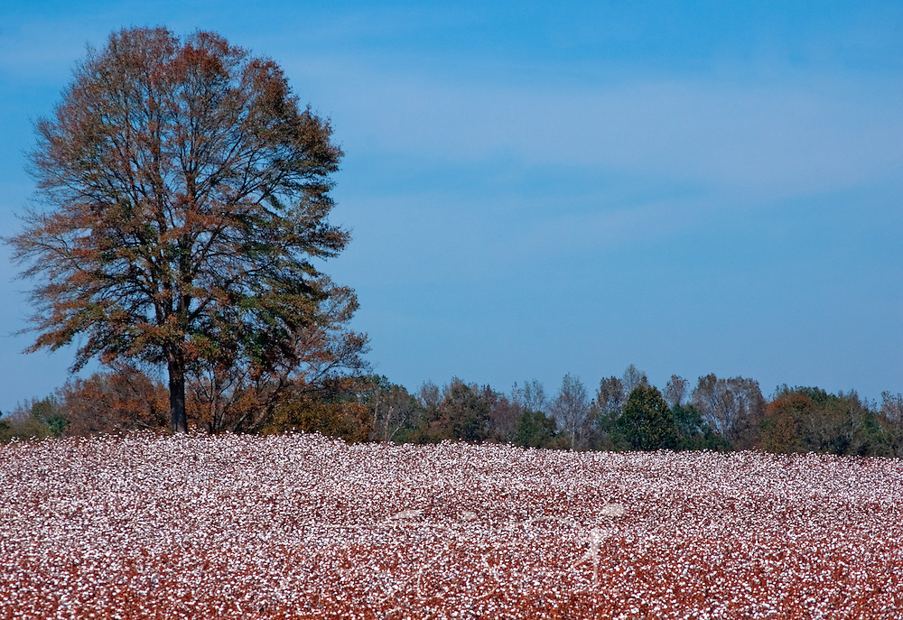 """A tree stands in a field surrounded by cotton near harvest in Pinson, Tennessee Oct. 17, 2010. Although """"King Cotton"""" is no longer the center of the Southern economy as it was prior to the Civil War, it remains an important crop. The United States was the leading exporter of cotton in 2009. (Photo by Carmen K. Sisson/Cloudybright)"""