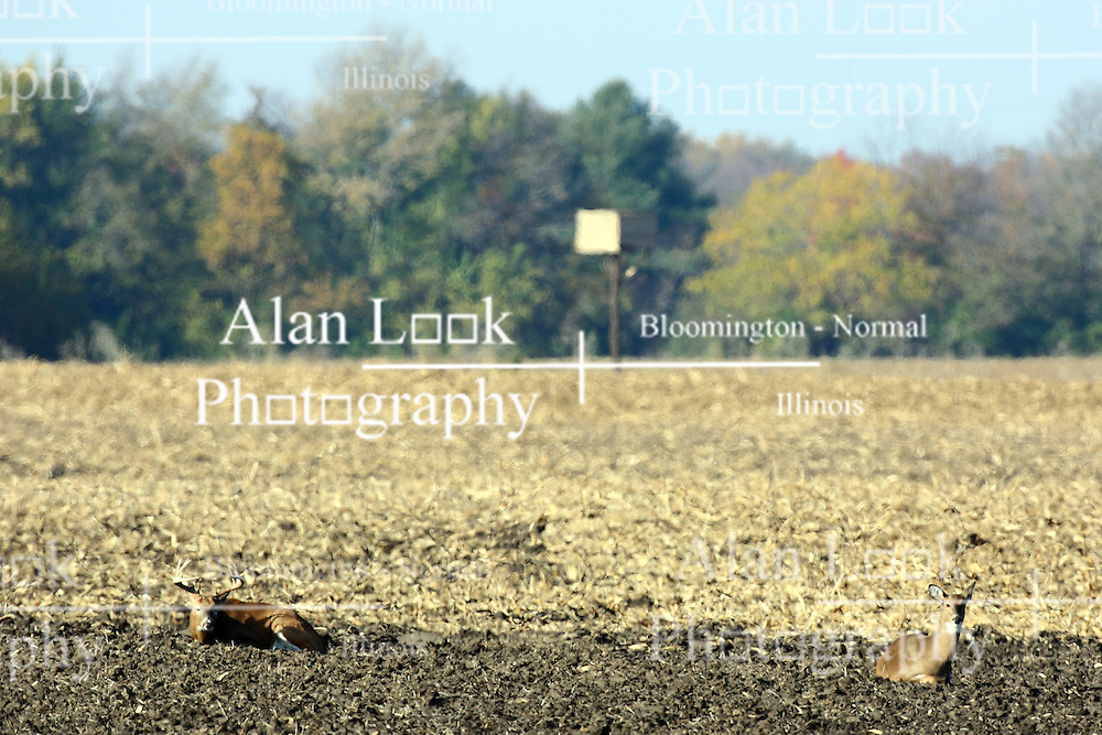 10 November 2007: A buck Whitetail deer lies near a doe in a plowed field near Comlara Park, McLean County, Illinois