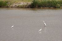Egrets fish in the Rio Grande near diversion dam, El Paso, TX.