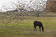 Hamptonburgh, NY -  A flock of starlings and cowbirds takes off behind a horse grazing in a field on Nov. 24, 2007.