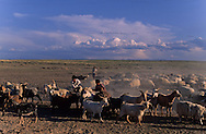 Mongolia. cattle breeder killing a sheep  in  Gobi desert    / troupeaux et éleveurs Gobi desert