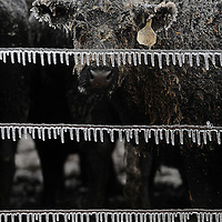 A cow is covered with ice as it hovers with other cattle in freezing rain in the pasture of Knochenmus Farms outside of Sioux Falls.
