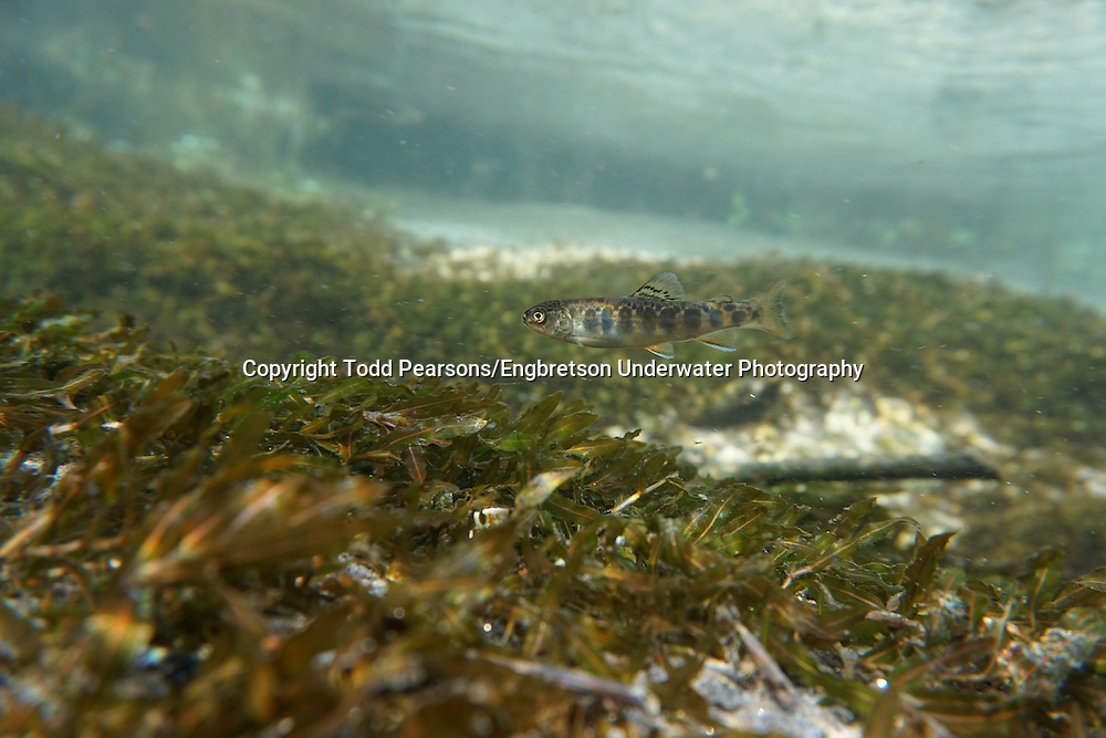 Brook Trout (juvenile)<br /> <br /> Todd Pearsons/Engbretson Underwater Photography