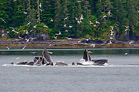 Humpback whales, Megaptera novaeangliae cooperatively bubble net feeding in Iyoukeen Inlet off of Chichagof Island, Alaska.