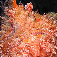 Alberto Carrera, Narural Colors Exhibition, Scorpionfish, Scorpaena scrofa, Mediterranean Sea, Spain, Europe