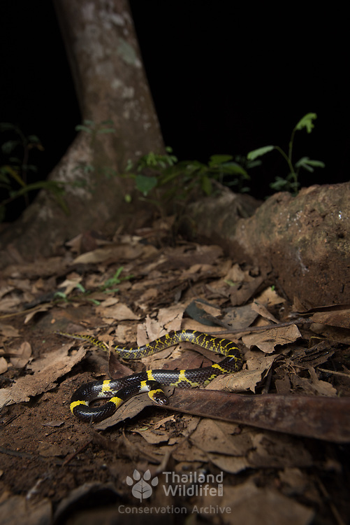 Yellow-barred Wolf Snake (Lycodon laoensis) in Kaeng Krachan district, Thailand