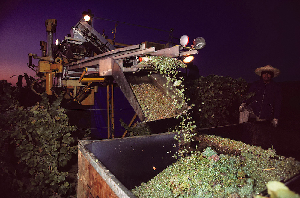 Wine grapes being picked and de-stemmed by a single-row harvesting machine in the Napa Valley, California. USA.